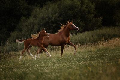 Araberstute mit Fohlen - Tender Arabians