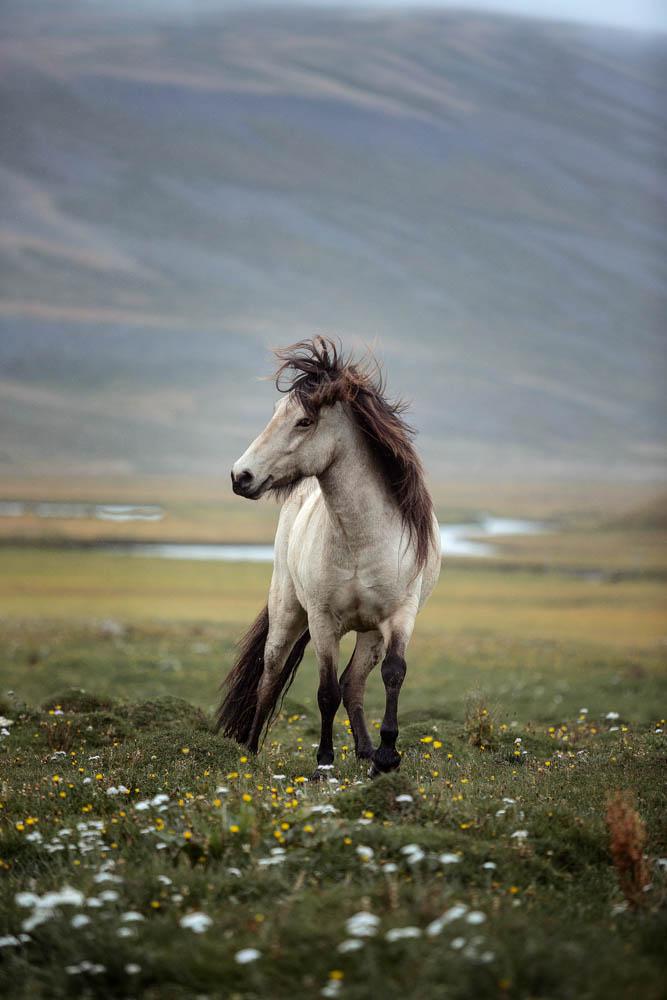 Brynja Islandstute auf Island