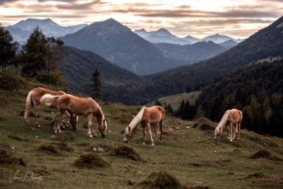 Verena Dechant Fotografin Niederbayern Bayern Haflinger
