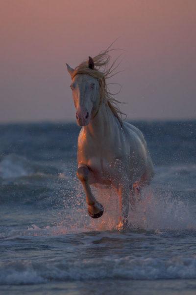 Wrangler - Rocky Mountain Horse