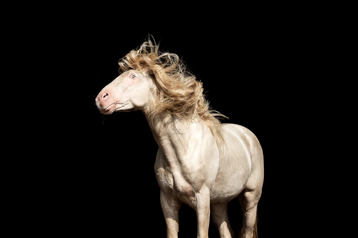 Rocky Mountain Horse Hengst Wrangler