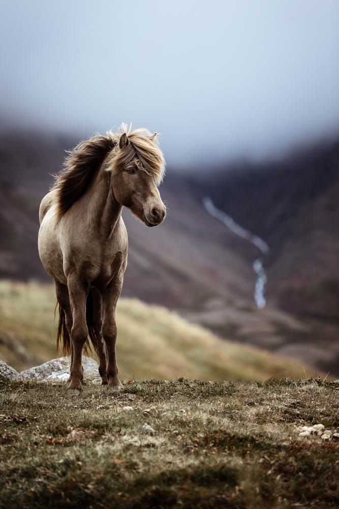 Goldrappe auf Island