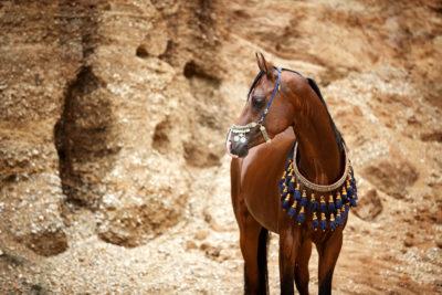 Vollblutaraber Deckhengst ASE Bellagio - Fotografentreffen Araber in der Sandgrube