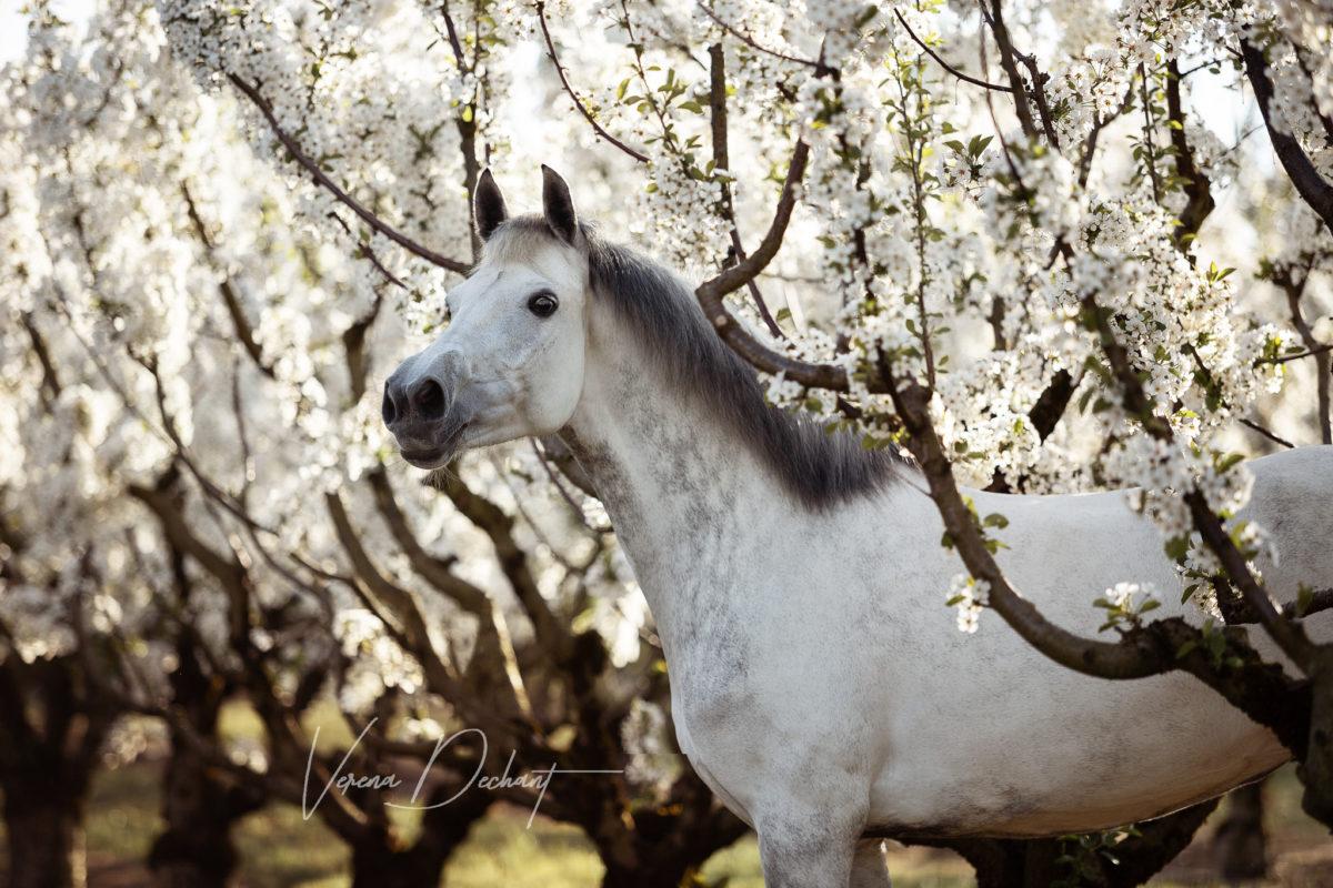 Blue - Stute in den Kirschblüten