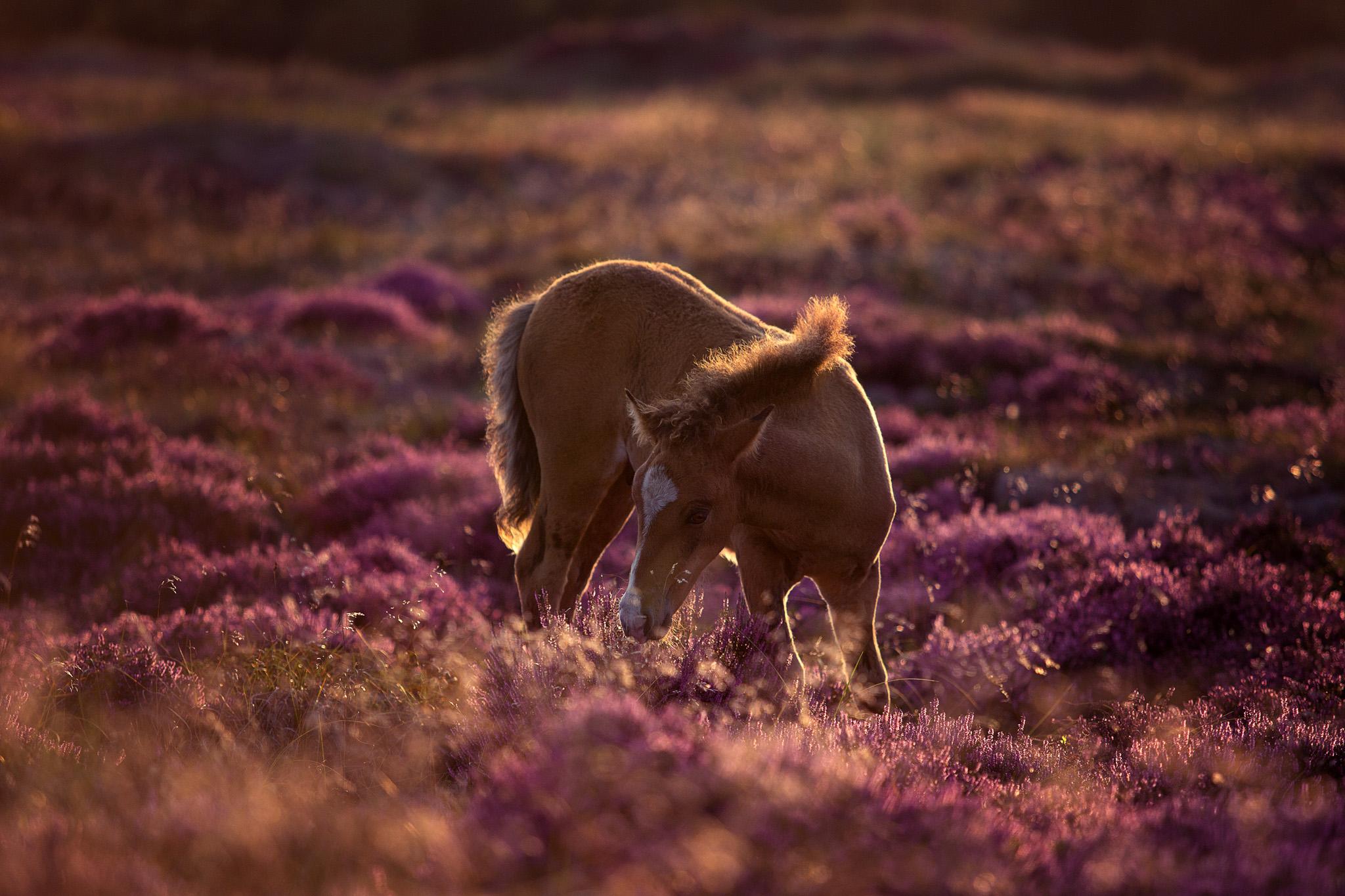 Fohlen in der Heide Dänemarks