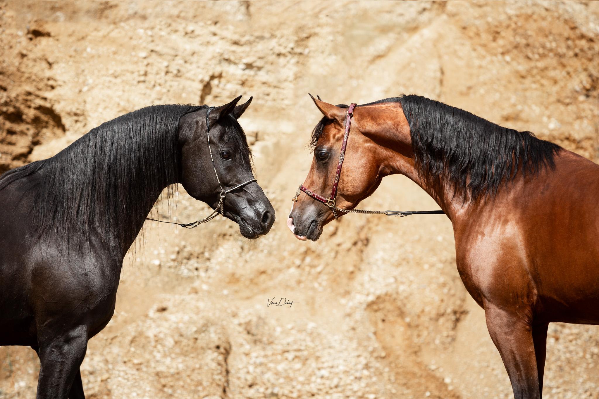 AJM Shirass & ASE Belaggio