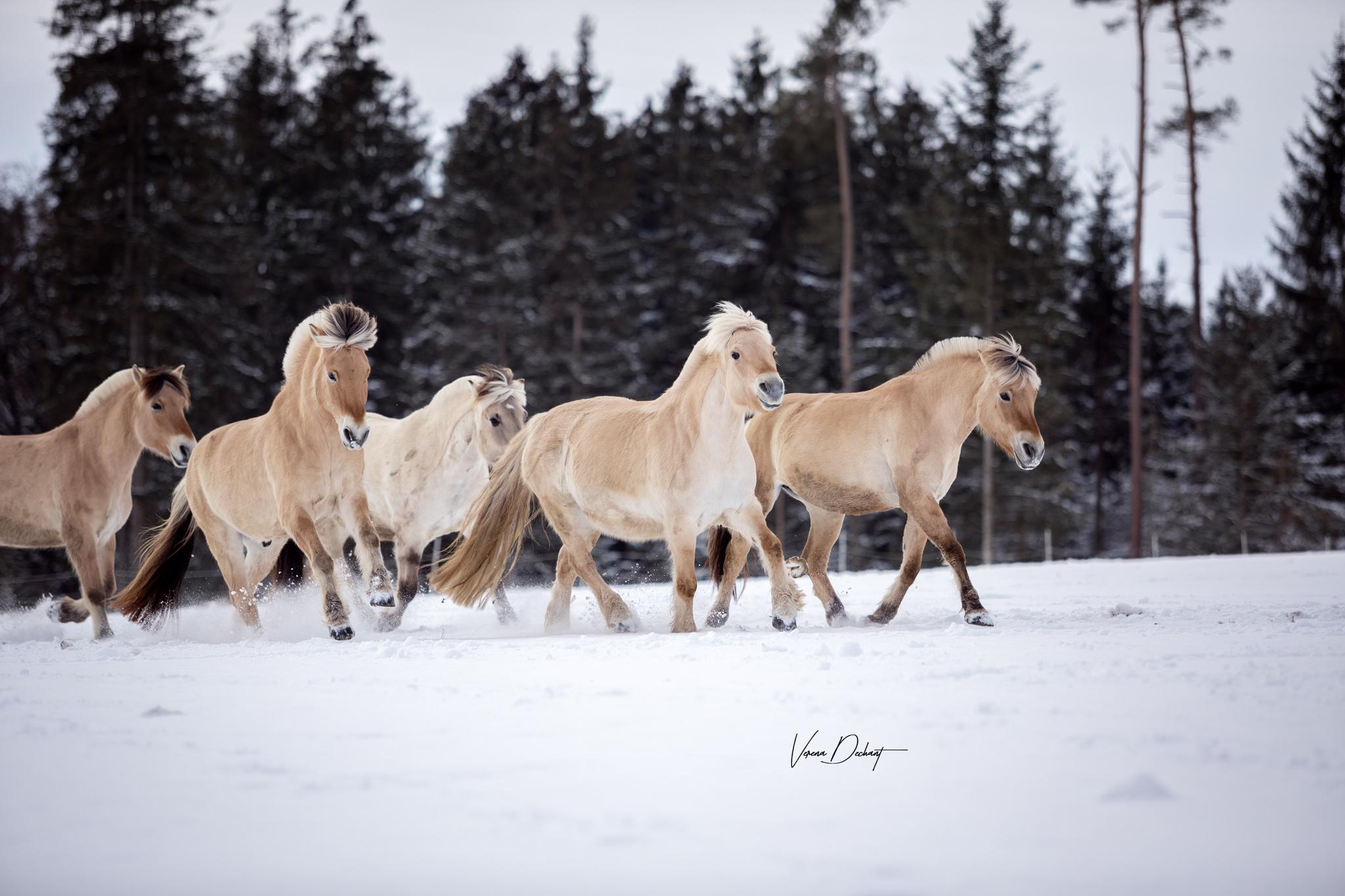 Mini-Portfolioreise Fjordpferde
