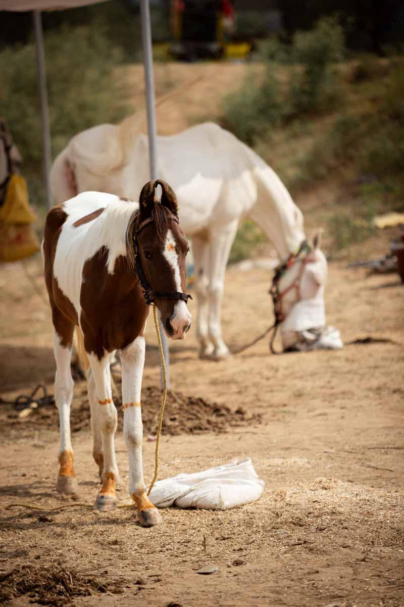 Pferdemarkt in Indien