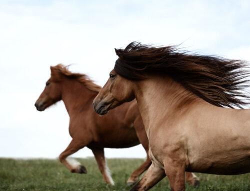 Fotografentreffen – Im Bann der Islandpferde